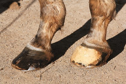 thoroughbred feet, navicular