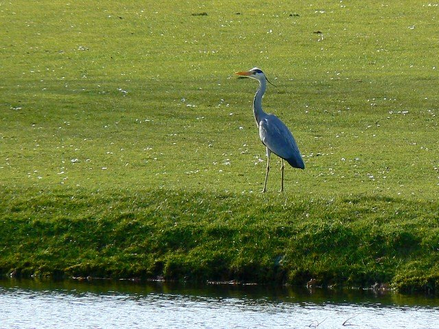 Credit Brian Robert Marshall. Found https://commons.wikimedia.org/wiki/File:Heron,_Broome_Manor_golf_course,_Swindon_-_geograph.org.uk_-_723119.jpg