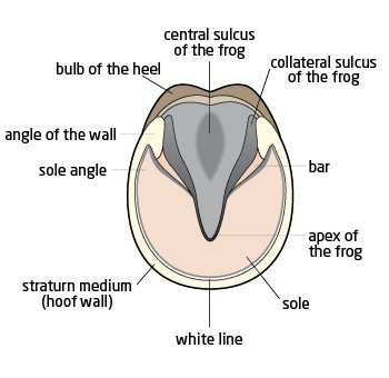 A diagram of the parts of the hoof