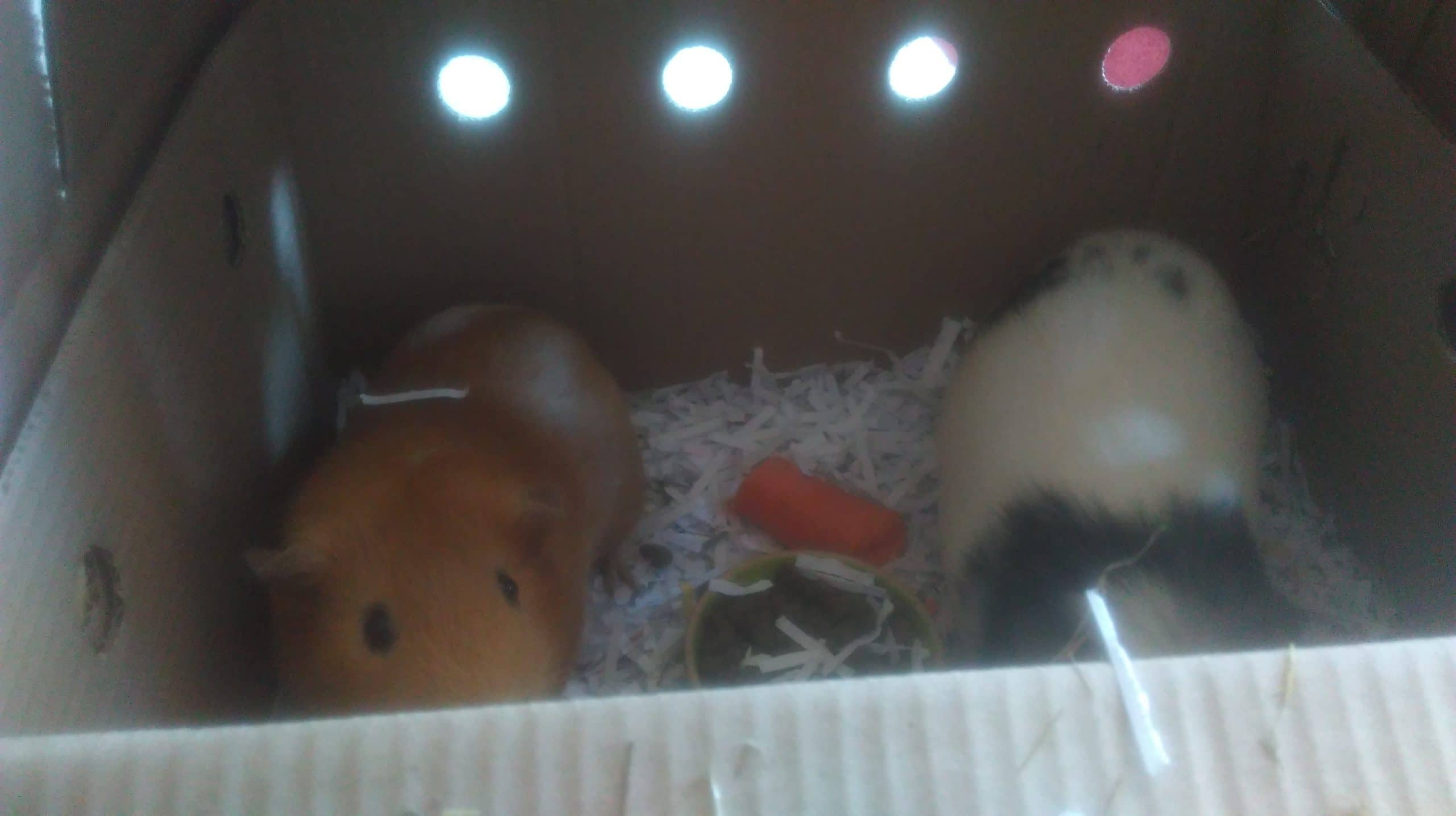 the guinea pigs