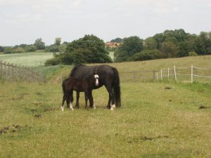 native pony mare and foal
