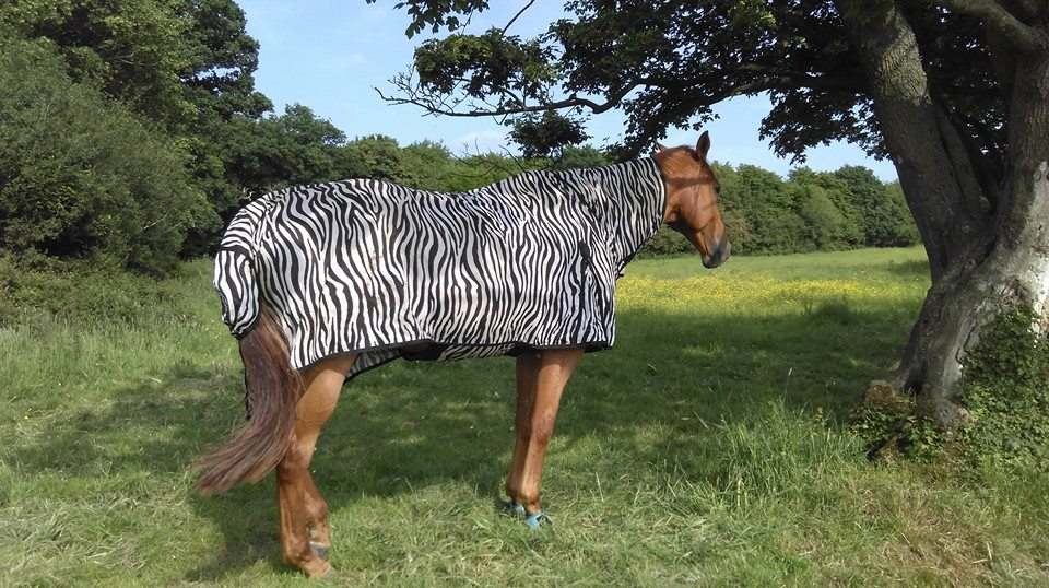 Scottie in his zebra fly rug heat wave
