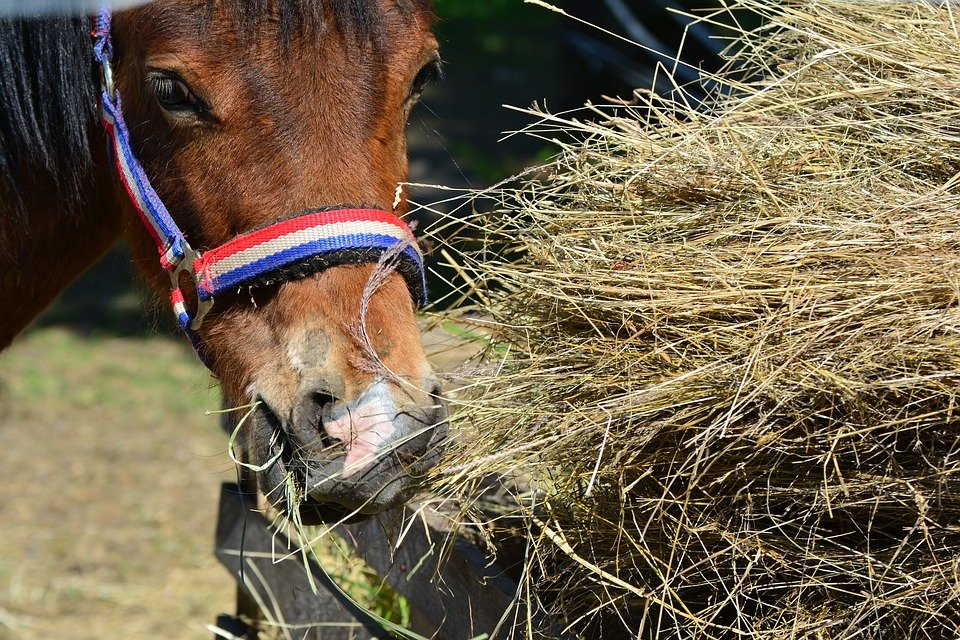 horse nutrition, horse eating hay