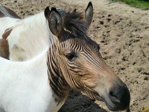 Horse hybrid Zony
