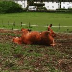 why do horses roll? Scottie demonstrates this blogtober topic without getting cast