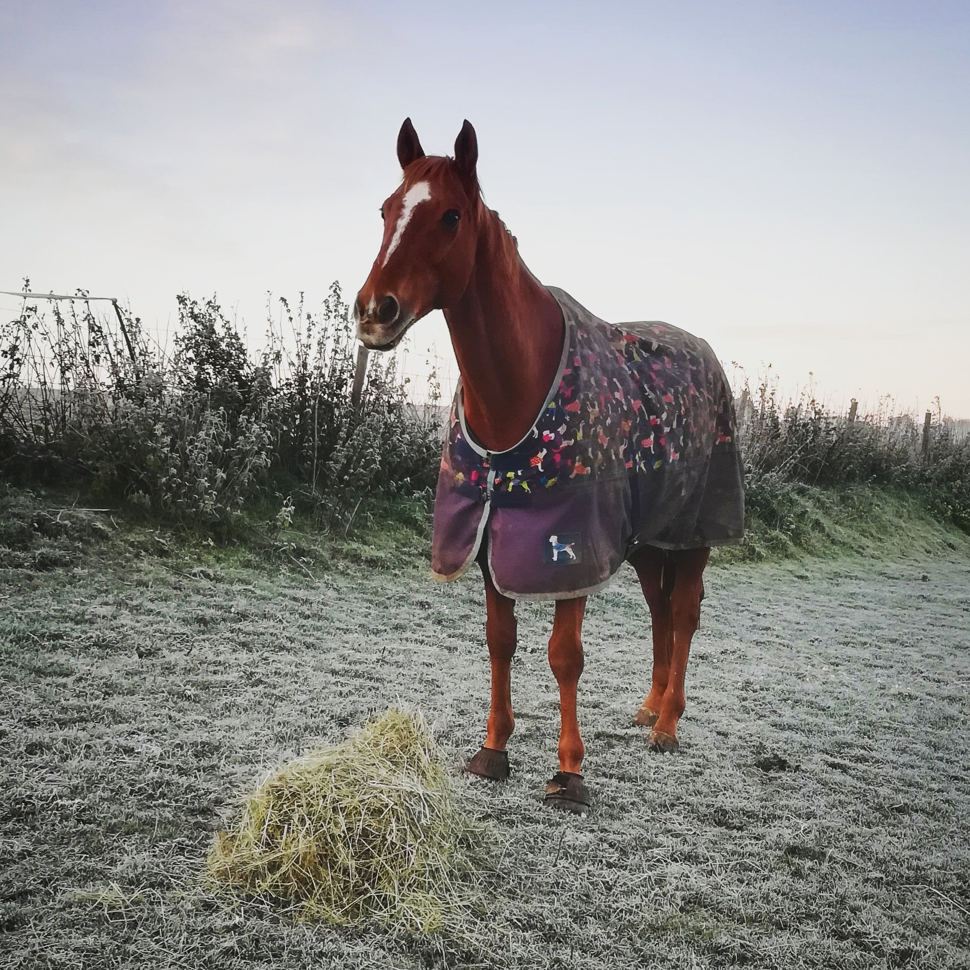 a horse worth wintering for. Scottie in the frosty field