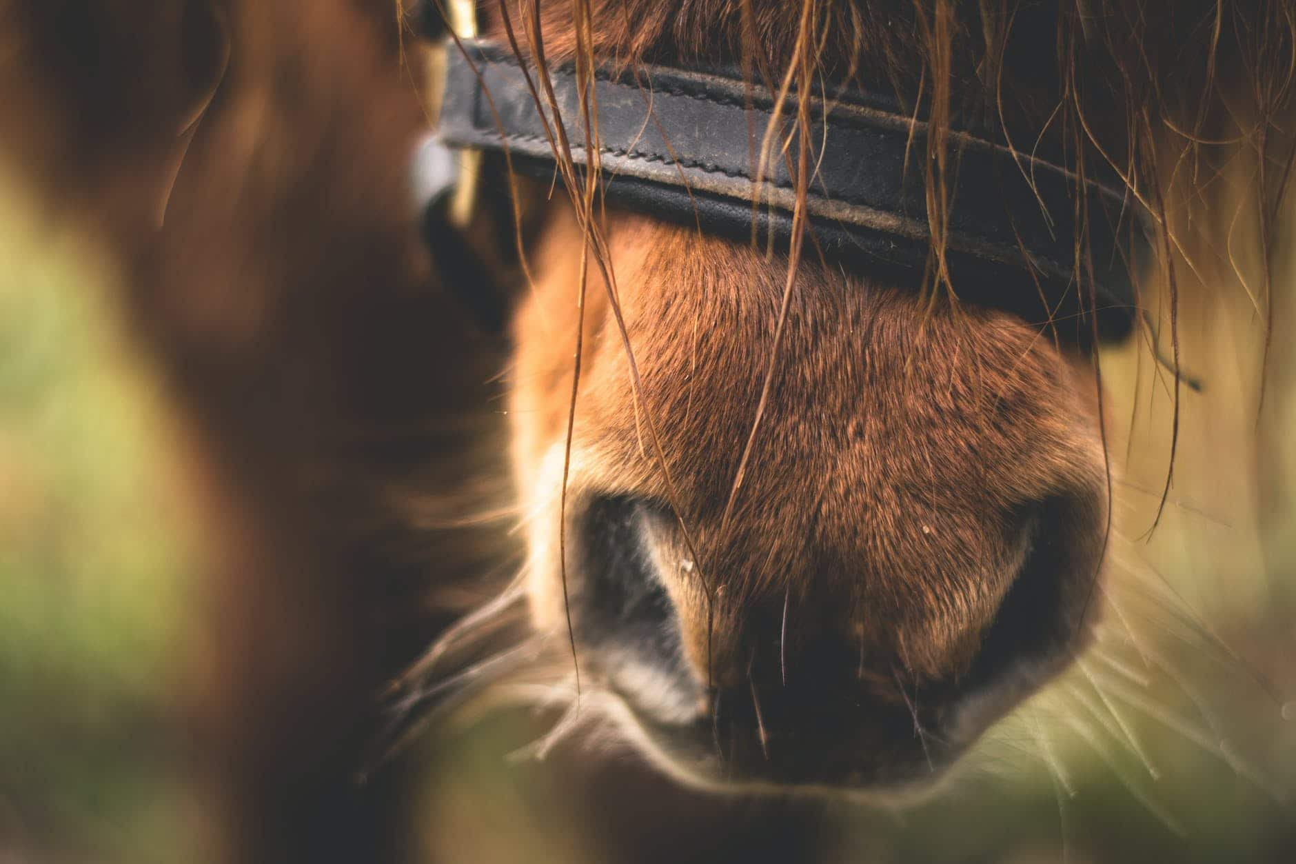 close up of horse nose and whiskers, should you trim a horses whiskers
