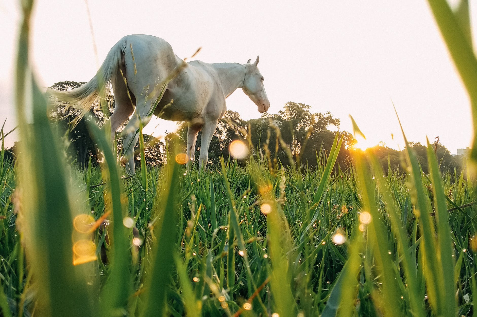 white horse on grassy meadow - the risks of summer grazing